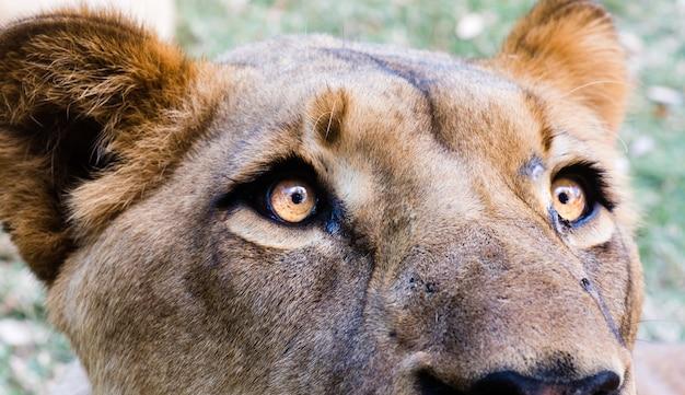 Imagem aproximada da cabeça de uma leoa Foto gratuita