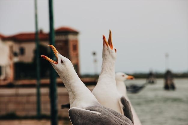 Imagem aproximada das gaivotas de cauda preta cantando com a cabeça erguida