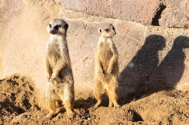 Imagem aproximada de dois suricatos em alerta vigiando no deserto