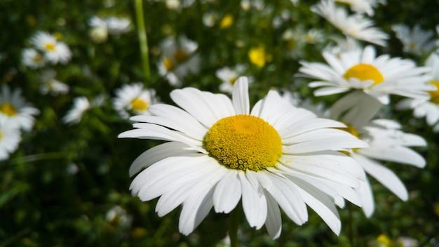 Imagem aproximada de flores de camomila crescendo em um prado no parque em um dia ensolarado de verão