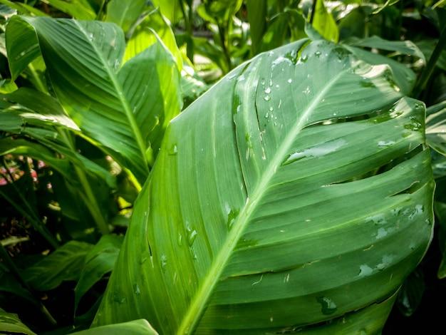 Imagem aproximada de grandes folhas de plantas tropicais cobertas de gotas de orvalho matinais na floresta da selva