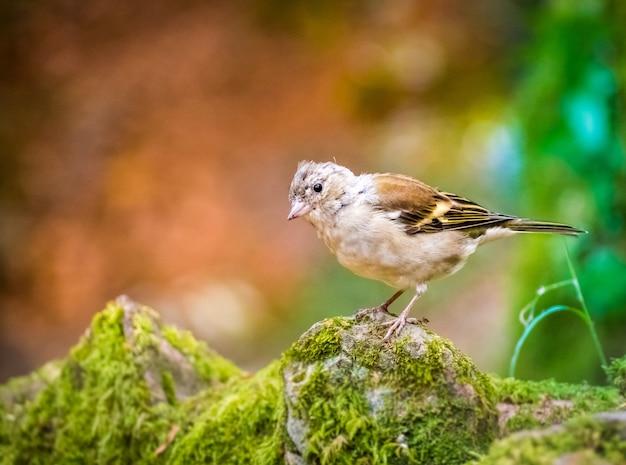 Imagem aproximada de um adorável pássaro tentilhão