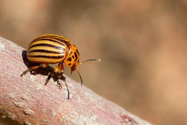 Imagem aproximada de um besouro da batata do colorado na superfície de uma árvore