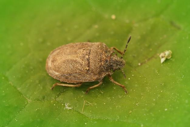 Imagem aproximada de um besouro do escudo bastante raro em uma folha verde
