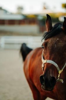 Imagem aproximada de um cavalo castanho com um arnês de pé sobre um solo arenoso com um fundo desfocado