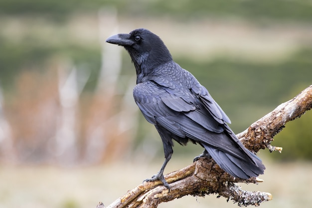 Imagem aproximada de um corvo americano