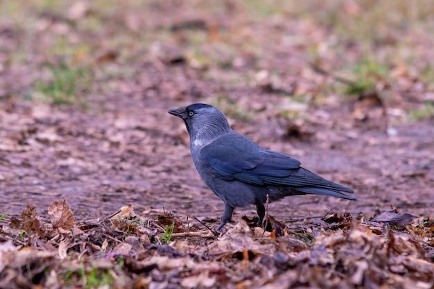 Imagem aproximada de um corvo negro parado no chão