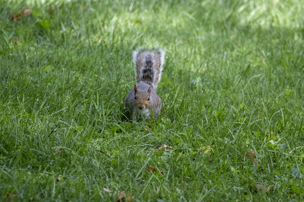 Imagem aproximada de um esquilo fofo com um longo rabo na grama
