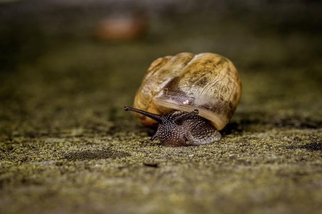 Imagem aproximada de um grande caracol rastejando lentamente sobre uma pedra
