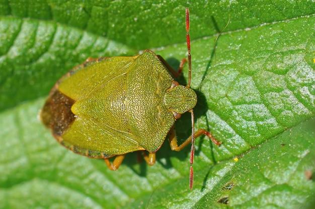 Imagem aproximada de um inseto de escudo verde invernando, palomena prasina, em uma folha verde