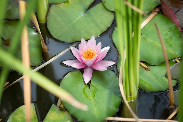 Imagem aproximada de um lindo lírio d'água rosa no lago do parque