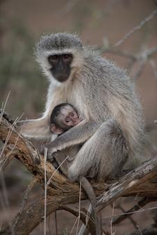 Imagem aproximada de um macaco cara-preta abraçando seu bebê
