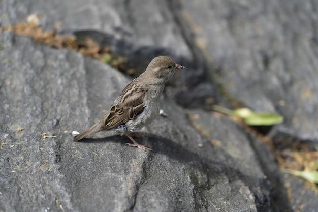 Imagem aproximada de um pardal de pé sobre uma grande pedra