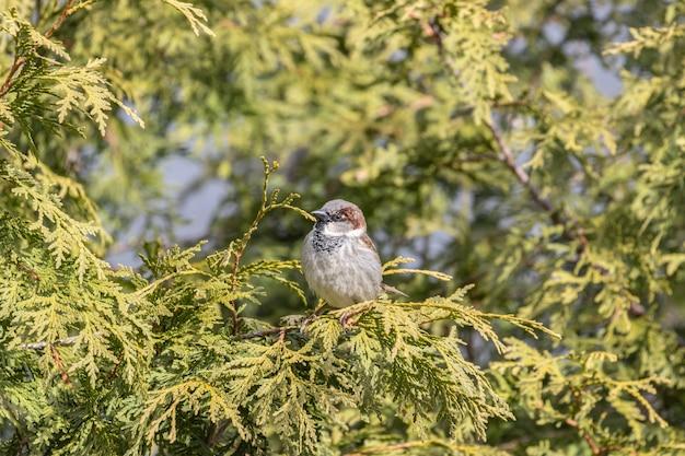 Imagem aproximada de um pardal descansando em um galho de árvore