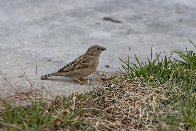 Imagem aproximada de um pardal parado em um terreno de concreto