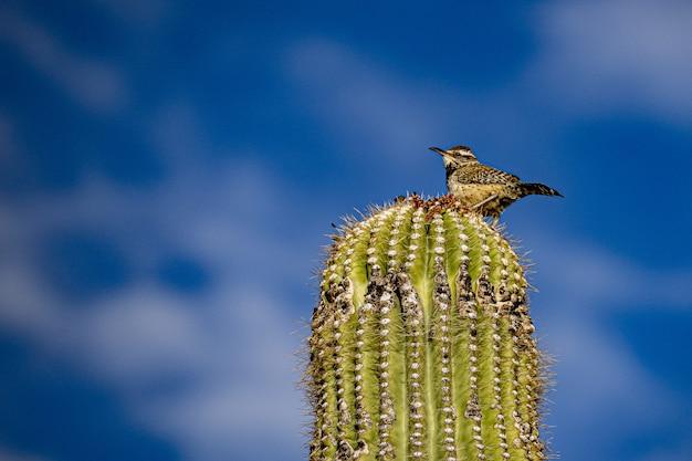 Imagem aproximada de um pássaro cactus wren empoleirado no topo de uma placa de cacto saguaro