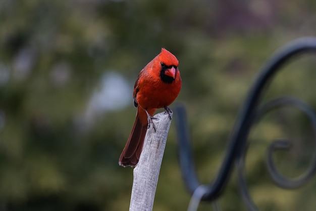 Imagem aproximada de um pássaro cardeal vermelho descansando em um galho