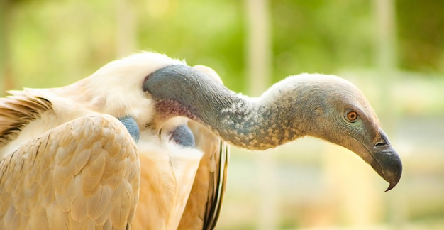 Imagem aproximada de um pássaro necrófago