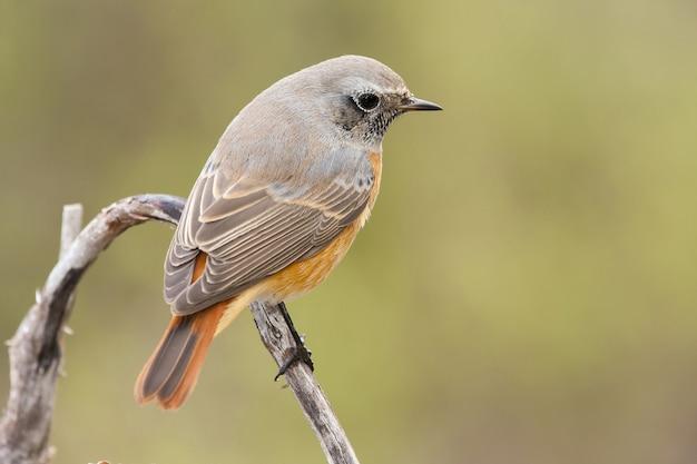 Imagem aproximada de um pássaro redstart preto empoleirado em um galho com um fundo desfocado
