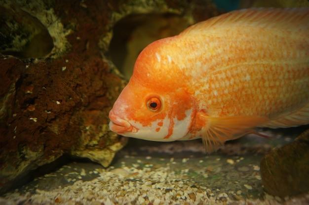 Imagem aproximada de um peixe ciclídeo laranja nadando no aquário