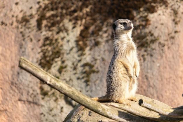 Imagem aproximada de um suricato alerta em pé sobre uma rocha
