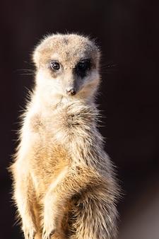 Imagem aproximada de um suricato alerta olhando diretamente
