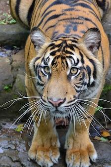 Imagem aproximada de um tigre sumatra