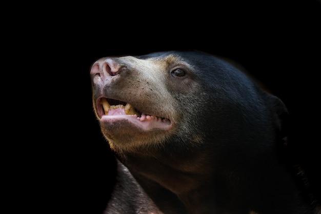 Imagem aproximada de um urso malaio em um fundo preto