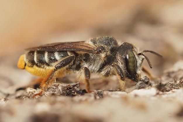 Imagem aproximada de uma abelha maçante mediterrânea em um borrão