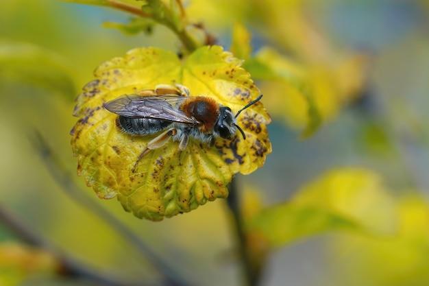 Imagem aproximada de uma abelha mineira fêmea de cauda vermelha recém-surgida, andrena haemorrhoa, em uma folha amarela