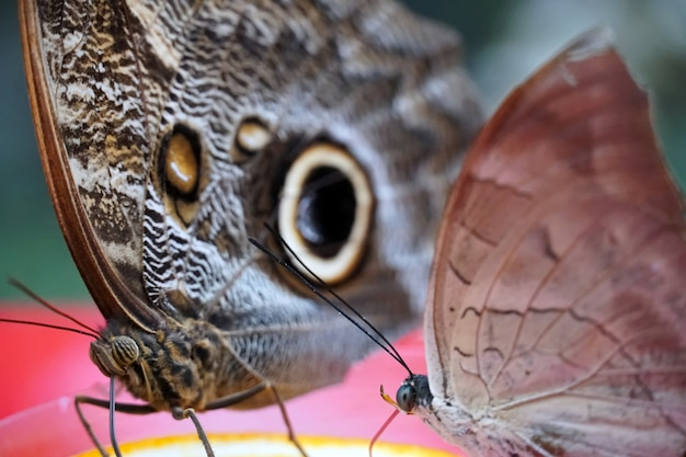 Imagem aproximada de uma asa de borboleta archaeoprepona demphone e uma asa de borboleta coruja