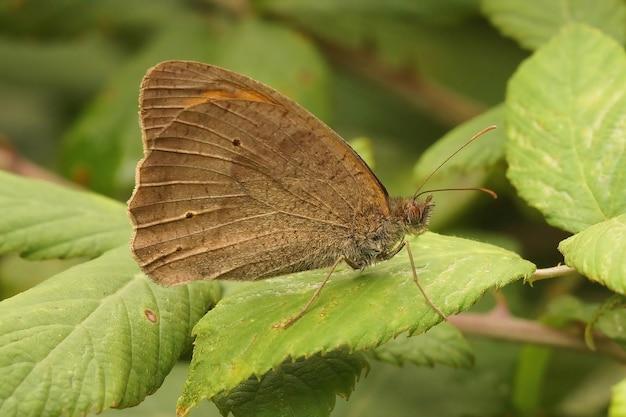 Imagem aproximada de uma borboleta marrom do prado empoleirada em uma folha verde