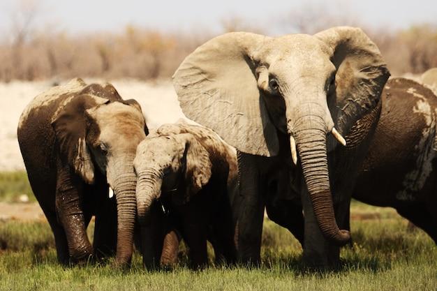 Imagem aproximada de uma família de elefantes caminhando pela planície de savana gramada