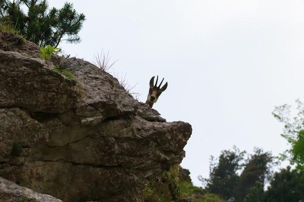 Imagem aproximada de uma jovem camurça dos alpes italianos, rupicapra rupicapra