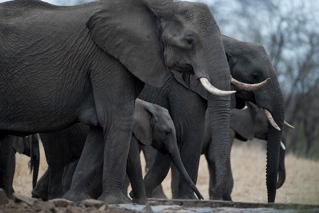 Imagem aproximada de uma manada de elefantes