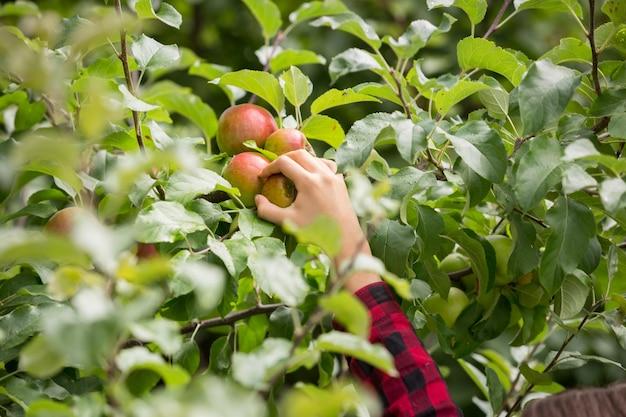 Imagem aproximada de uma mão feminina colhendo maçãs vermelhas maduras