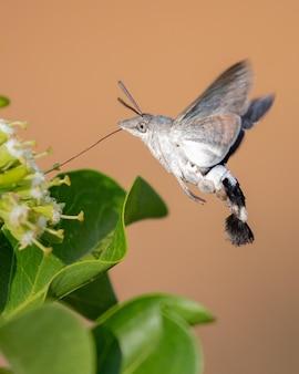 Imagem aproximada de uma mariposa-falcão colibri coletando néctares de uma flor