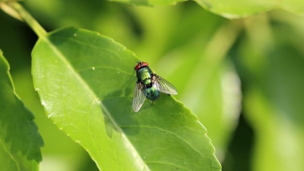 Imagem aproximada de uma mosca de inseto descansando na folha