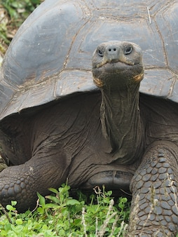 Imagem aproximada de uma tartaruga gigante