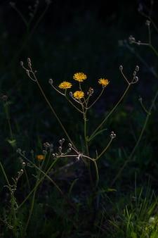 Imagem aproximada de várias flores de dente-de-leão amarelas