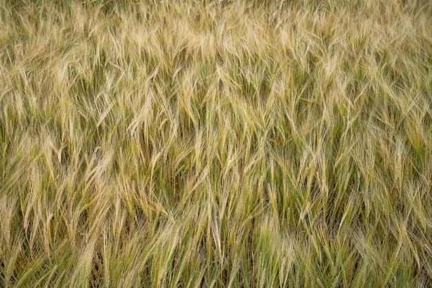 Imagem aproximada do campo de grãos de cevada durante o dia