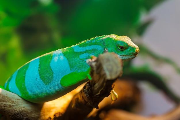 Imagem aproximada do lagarto iguana réptil gigante com plantas atrás