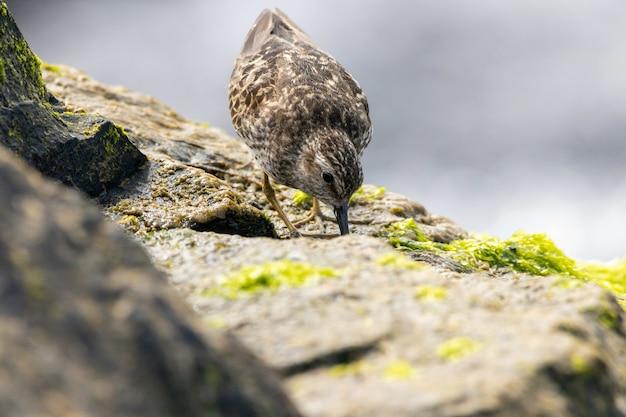 Imagem aproximada do menor maçarico em uma rocha perto do oceano, procurando uma refeição