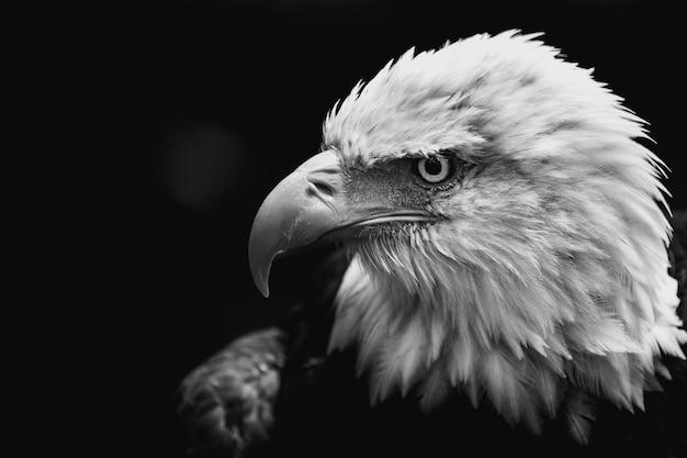 Imagem aproximada em tons de cinza de uma águia careca americana em um fundo escuro