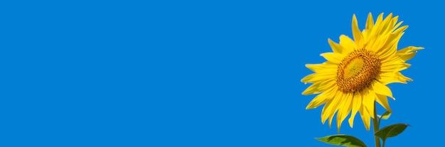 Imagem bonita de um girassol contra o céu azul. bandeira.