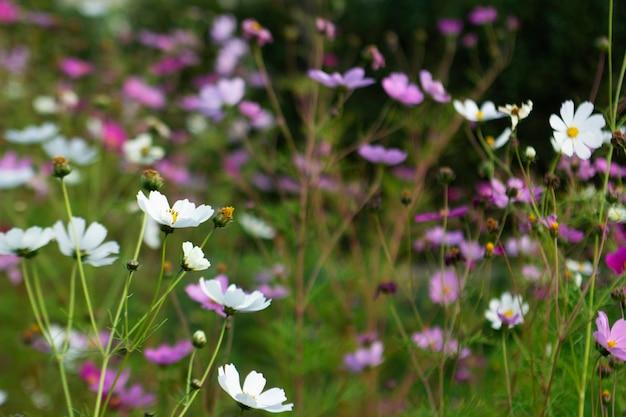Imagem borrada de flores do cosmos e ramos de espargos iluminados pelo sol.