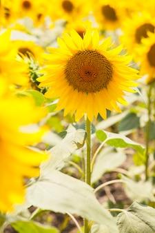 Imagem colorida de girassol