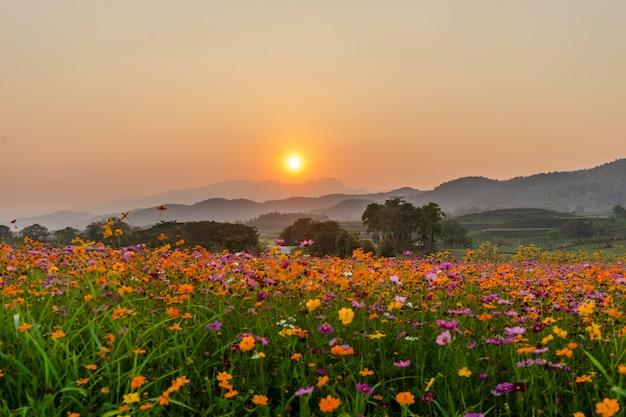 Imagem da bela paisagem com campo de flores de cosmos ao pôr do sol.