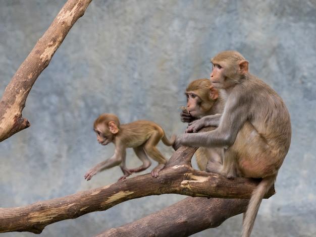 Imagem da família macaco sentado em um galho de árvore.