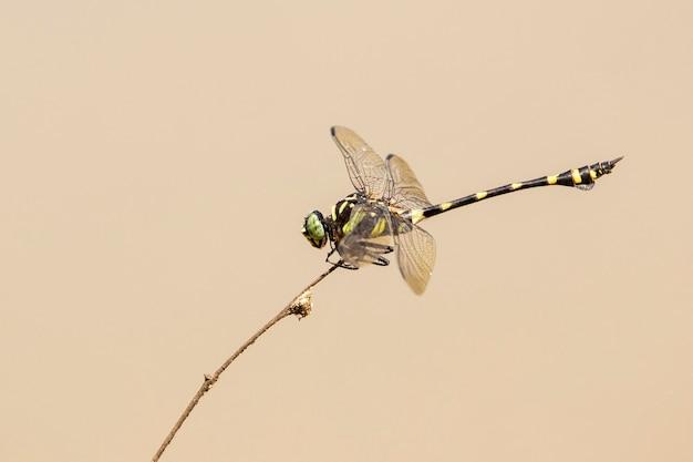 Imagem da libélula gomphidae (ictinogomphus decoratus) em galhos secos no fundo da natureza. inseto. animal.
